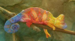 Camaleão colorido em galho de árvore