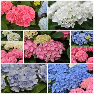 As cores das hortênsias são determinadas pelo pH do solo onde são plantadas