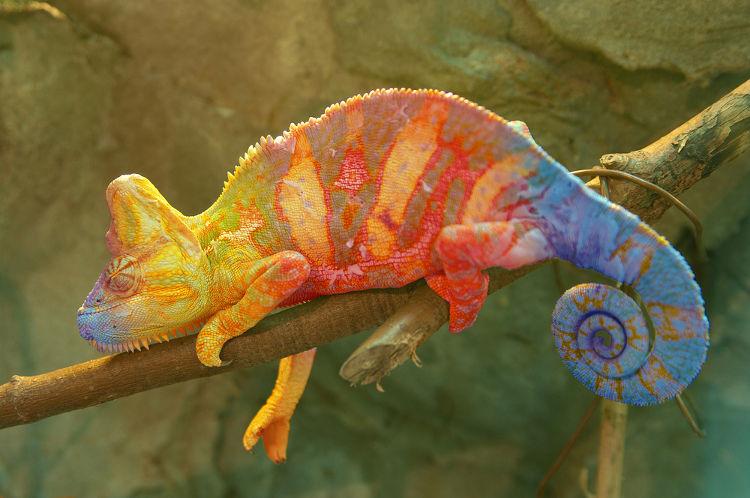 Camaleão com cores diferentes