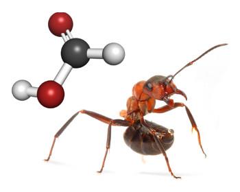 Formiga de madeira vermelha (Formica rufibarbis) pronta para atacar com mandíbulas abertas e gota de ácido fórmico