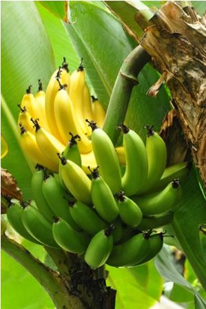 O eteno ou etileno é um alceno que provoca o amadurecimento de frutas como as bananas